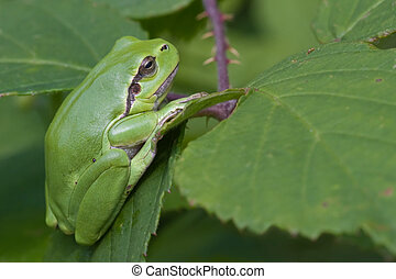 European Tree Frog (Hyla Arbora) haning from a leaf