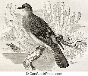 Blue-spotted Wood Dove old illustration (Turtur afer)....