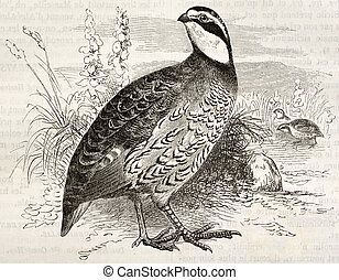 Northern Bobwhite old illustration (Colinus virginianus)....