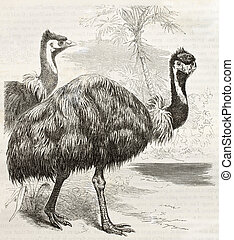 Emu old illustration Dromaius novaehollandiae Created by...