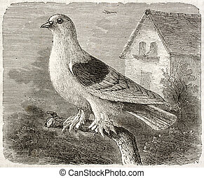 Rough-footed Pigeon old illustration Columba livia Created...