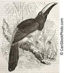 Black-necked Aracari old illustration (Pteroglossus...