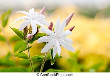 blanco, jazmín, flores, cierre, Arriba