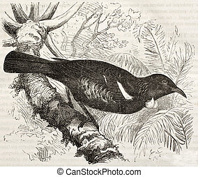 Tui old illustration (Prosthemadera novaeseelandiae)....