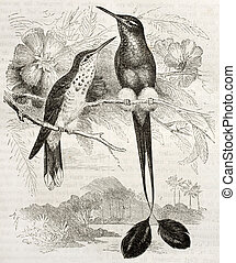 Booted Racket-tail old illustration (Ocreatus underwoodii)....