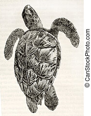Loggerhead sea turtle old illustration (Caretta caretta). By...