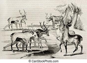 Hunting deers - Native Americans camouflage hunting deers in...