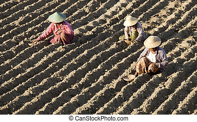 asian women plant seeds to the land,  myanmar near mandalay