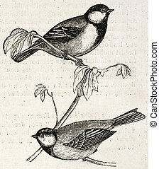 Blue Tit old illustration Cyanistes caeruelus By...