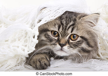 Lovely persian kitten lying on white shawl - Lovely grey...