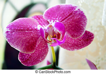 Home Grown Orchid - Beautiful, home grown orchid blooms in...