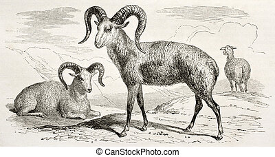 Argali (mountain sheep) old illustration. Created by Adam...
