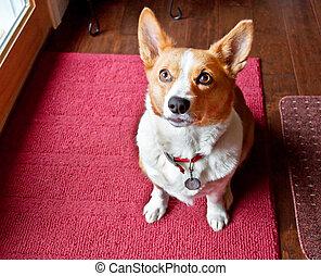 Pembroke, galês, Corgi, cão, sentando, perto,...