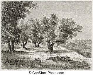 oliva, boschetto