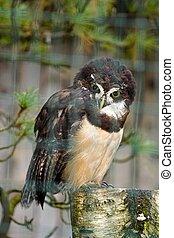 Spectacled owl pulsastrix perspicillata