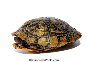 Western Chicken Turtle - Reptile western chicken turtle...