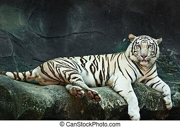 Female wild white tiger from Thailand, taken in a sunny day,...