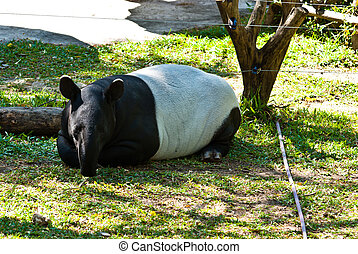 Large male tapir, taken in the morning at Thailand national...