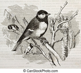 Great Tit old illustration (Parus major). Created by...