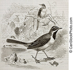 Grey Wagtail old illustration (Motacilla cinerea). Created...