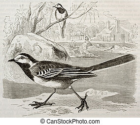White Wagtail old illustration (Motacilla alba). Created by...