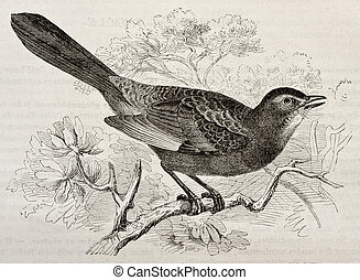 Grey Catbird old illustration (Dumetella carolinensis)....
