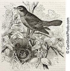 Nightingale old illustration (Luscinia megarhynchos)....