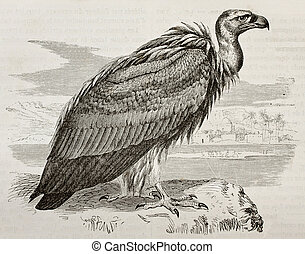 Griffon Vulture - Old illustration of Griffon Vulture (Gyps...