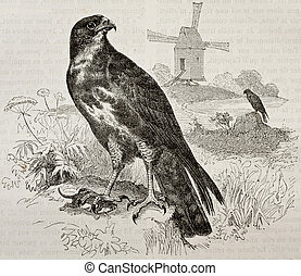 Buzzard - Old illustration of a Buzzard (Buteo buteo)....