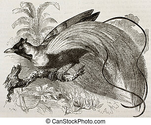 Red-bird of Paradise - Old illustration of Red-bird of...