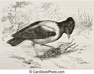 Rosy Starling - Old illustration of Rosy Starling (Pastor...