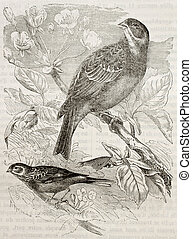 Ortolan Bunting - Old illustration of Ortolan Bunting...