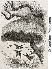Sociable Weaver - Old illustration of sociable weaver...