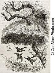 Sociable Weaver - Old illustration of sociable weaver...