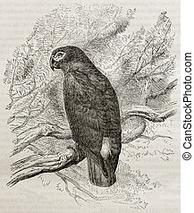 Psittacus erithacus - Old illustration of a Grey parrot...