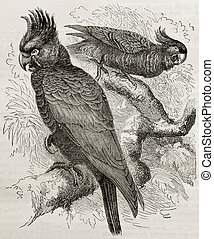 Callocephalon fimbriatum - Old illustration of Gang-gang...