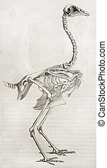 Cock skeleton - Old illustration of a cock's skeleton. By...