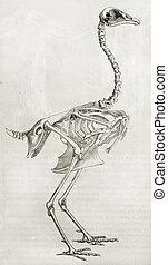 Cock skeleton - Old illustration of a cocks skeleton By...