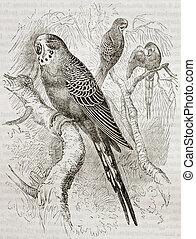 Melopsittacus undulatus - Old illustration of Budgerigar...
