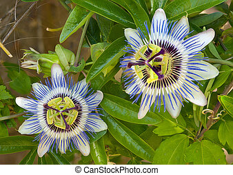 Blue Passion Flower - Blooming blue Passion Flower
