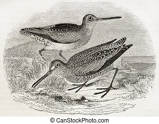Brown snipe - Old illustration of a Brown snipe (Scolopax...