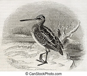Snipe - Old illustration of a snipe (Scolopax gallinago). By...