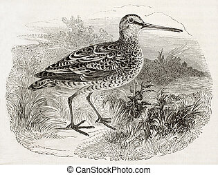 Woodcock bis - Old illustration of a woodcock (Scolopax...