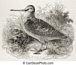 Woodcock - Old illustration of a woodcock Scolopax rusticola...