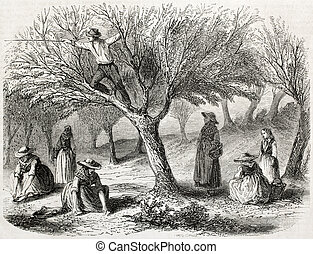Olive harvesting - old illustration of olive harvesting near...
