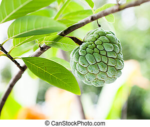 Green custard apple is growing in the garden