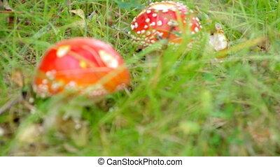Close-upof a Amanita poisonous mushroom in nature