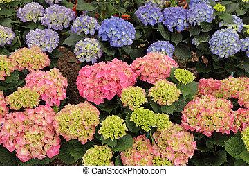 multicolor hortensia flowers - multicolor hortensia...