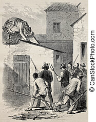 Tiger's escape - Old illustration of a tiger escaped from...