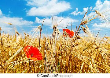 red poppy on field